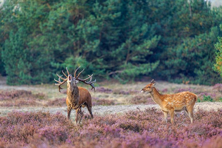 Wild spotten op de Veluwe, herten